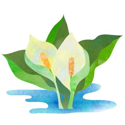 夏の高原の花、水芭蕉の無料イラストです。