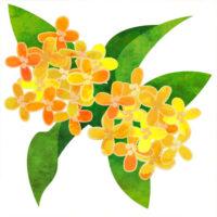 金木犀の花の無料イラストです。