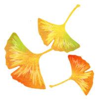 黄色く色づいた銀杏の葉のイラスト
